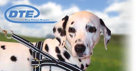 Dalmatiner mit Hundegeschirr aus Schweden